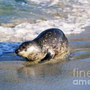 Harbor Seal Print by David Davis