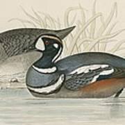 Harlequin Duck Art Print