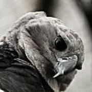 Harpy Eagle Closeup Art Print