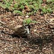 Harris Sparrow Collecting Seeds Art Print