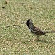 Harris Sparrow On Grass Art Print