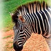 Hartman Zebra Art Print