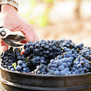Harvest At Vineyard In Santa Cruz Art Print