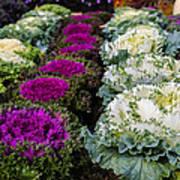 Harvest Cabbage Art Print