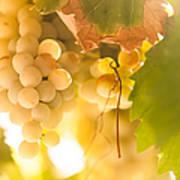 Harvest Time. Sunny Grapes Vi Art Print