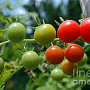 Harvest Tomatoes Art Print