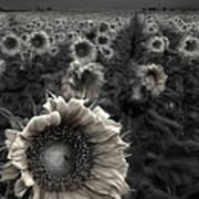 Haunting Sunflower Fields 1 Art Print
