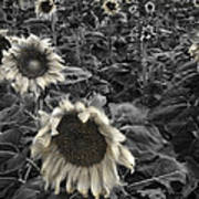 Haunting Sunflower Fields 2 Art Print by Dave Dilli