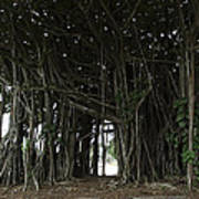 Hawaiian Banyan Tree - Hilo City Art Print