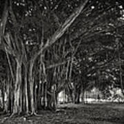 Hawaiian Banyan Tree Root Study Art Print by Daniel Hagerman