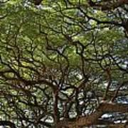 Hawaiian Banyan Tree Art Print