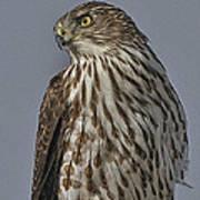Hawk Beauty On The Lookout Art Print
