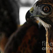 Hawk Eye Print by Steven  Digman