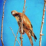 Hawk In A Glow Art Print
