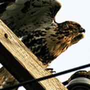 Hawk On Telephone Pole Art Print