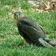Hawk On The Grass Art Print