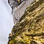 Hawk Owl Pictures 8 Art Print