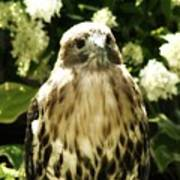 Hawk Portrait Art Print