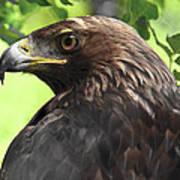 Hawk Scouting Art Print