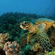 Hawksbill Sea Turtle Art Print