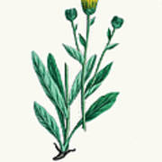 Hawkweed Chicory Plant 19th Century Art Print