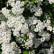 Hawthorn In Bloom Art Print