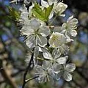 Hawthorn Flowers Art Print