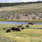 Hayden Valley Bison Herd In Yellowstone National Park Art Print