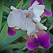 Hdr Iris Art Print