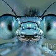 Head And Compound Eyes Of Damselfly Art Print