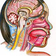 Head And Neck Anatomy Art Print