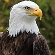Head Of A Male American Bald Eagle Art Print