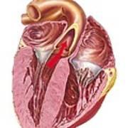 Heart Anatomy, Artwork Art Print by Science Photo Library