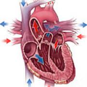 Heart Blood Flow Art Print by Evan Oto
