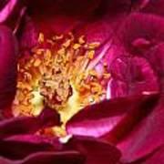 Heart O' The Rose Art Print