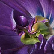 Heart Of A Purple Tulip Art Print