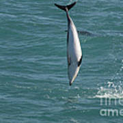 Hector Dolphin Diving Art Print