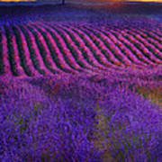 Height Of The Bloom Rolling Lavender Fields Art Print