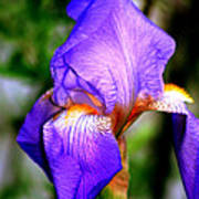 Heirloom Iris Purple Art Print