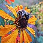Helenium Bumble Bee Art Print