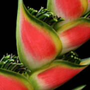 Heliconia Wagneriana - Giant Lobster Claw Heliconiaceae - Maui Hawaii Art Print