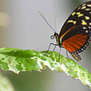 Heliconius Butterfly On Green Leaf Art Print