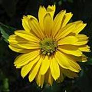 Heliopsis Summer Sun Art Print