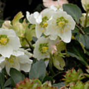 Hellebore And Friends Art Print