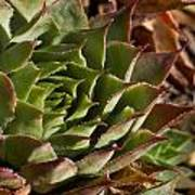 Hens And Chicks Sedum 1 Art Print