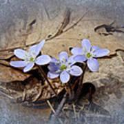 Hepatica Wildflowers - Hepatica Nobilis Art Print