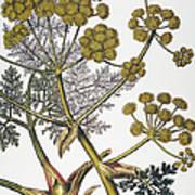 Herbal: Fennel, 1819 Art Print