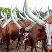 Herd Of Ankole-watusi Cattle, Kenya Art Print
