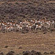 Herd Of Antelope   #8552 Art Print