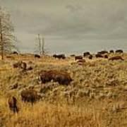 Herd Of Buffalo Art Print